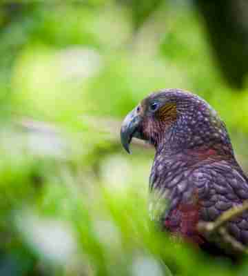 wellington zealandia kea bird